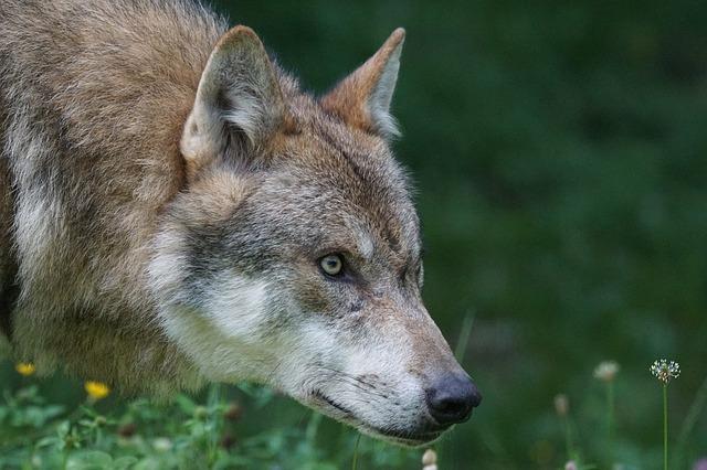 wolf steering