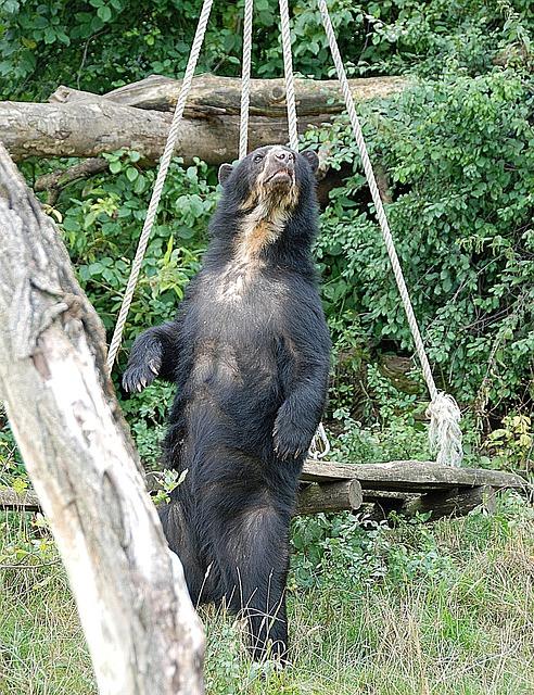 black-bear-on-hind-legs