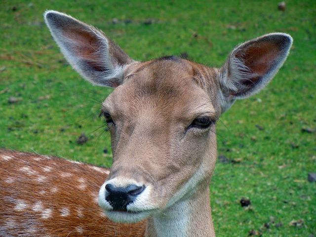 deer-in-the-woods