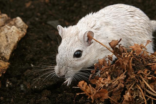 white-rat