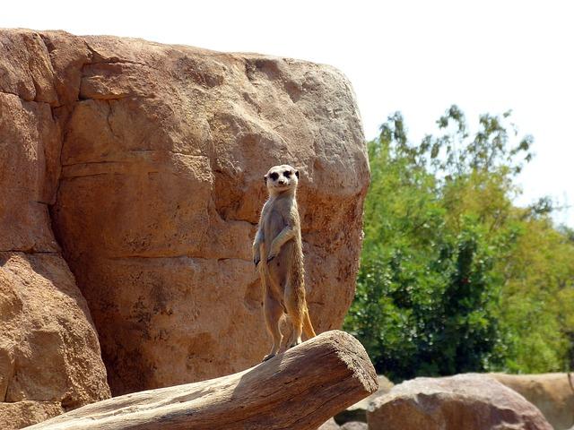meerkat-in-wild