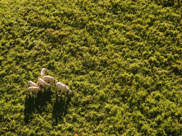 picture of sheep with drone