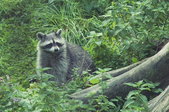 raccoon in the wild