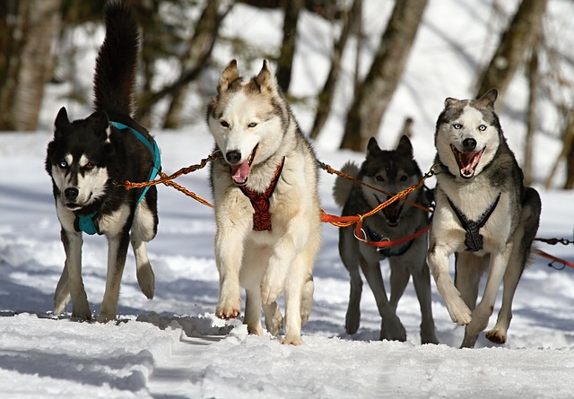 Huskies Running On Snow